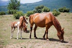 Grands et petits chevaux frôlant dans le domaine Photos stock