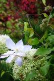 Grands fleur blanche et fruits de floraison des clématites photos libres de droits