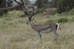 Grands gazela przy Amboseli parkiem narodowym zdjęcia stock