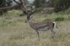 Grands Gazelle at Amboseli National Park. Kenya, Africa Stock Photos