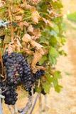 Grands groupes de raisins de cuve Photographie stock libre de droits