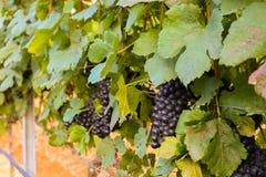 Grands groupes de raisins de cuve Images stock