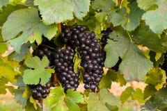 Grands groupes de raisins de cuve Image libre de droits