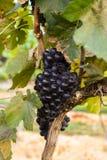 Grands groupes de raisins de cuve Images libres de droits