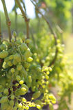 Grands groupes de raisins de cuve blanc Photo libre de droits