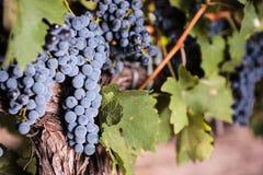 Grands groupes de raisins de vin rouge Images stock