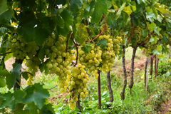 Grands groupes mûrs de raisins verts sur la vigne Images stock