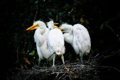 Grands hérons blancs Photos stock
