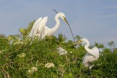 Grands hérons blancs construisant le nid (travail d'équipe) Photographie stock libre de droits
