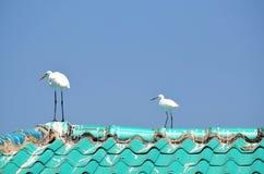 Grands hérons blancs mûrs et jeunes sur le toit Image libre de droits