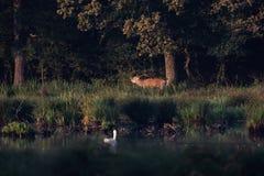 Grands hurlements de mâle de cerfs communs rouges images libres de droits