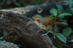 Grands hypoleucos de Pomatorhinus de bavard de cimeterre sur la branche en nature, Thaïlande images libres de droits