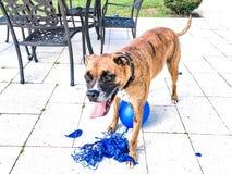 grands jeux heureux de chien avec un ballon Photos stock
