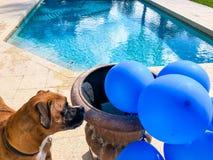grands jeux heureux de chien avec un ballon Photographie stock