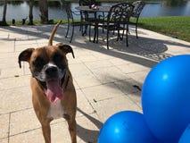 grands jeux heureux de chien avec un ballon Photographie stock libre de droits