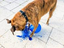 grands jeux heureux de chien avec un ballon Photo libre de droits