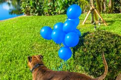 grands jeux heureux de chien avec un ballon Photo stock