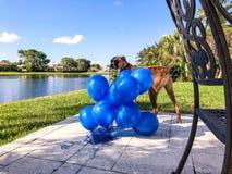 grands jeux heureux de chien avec un ballon Images libres de droits