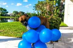 grands jeux heureux de chien avec un ballon Image stock