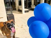 grands jeux heureux de chien avec un ballon Images stock