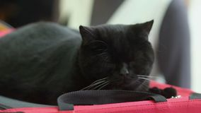 Grands mensonges paresseux noirs de chat clips vidéos