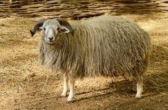 Grands moutons à cornes dans le pré Image libre de droits