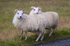 Grands moutons blancs mignons de RAM se tenant dans la route et regardant avec l'intérêt photos libres de droits