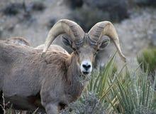 Grands moutons de klaxon Image libre de droits