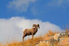 Grands moutons de klaxon Photographie stock libre de droits