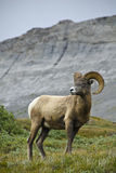 Grands moutons de klaxon Photo stock
