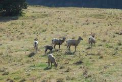 Grands moutons de klaxon Photographie stock