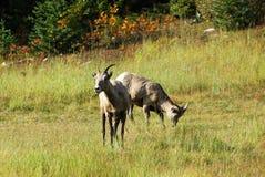 Grands moutons de klaxon Images libres de droits