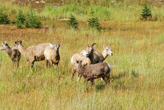 Grands moutons de klaxon Photos stock