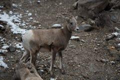 Grands moutons de klaxon de chéri Photographie stock