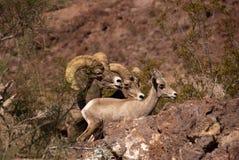 Grands moutons de klaxon de désert Images stock