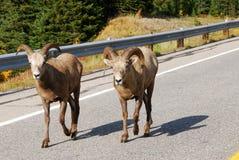 Grands moutons de klaxon sur la route Image libre de droits