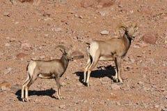 grands moutons de montagne de klaxon de chèvres Photographie stock