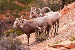 Grands moutons entendus parler de klaxon de désert Images stock