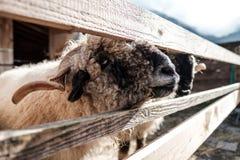Grands moutons regardant par une barrière dans le coucher du soleil à une ferme en Autriche Photographie stock
