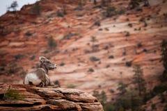 Grands moutons se reposants de klaxon Photos libres de droits