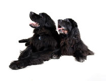 Grands newfoundlands Images libres de droits