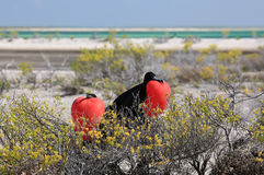 Grands oiseaux de frégate masculins pendant la saison d'accouplement Photographie stock libre de droits