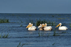 Grands pélicans blancs dans le delta de Danube Images stock