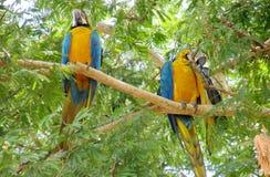 Grands perroquets d'arums de plumes bleues, vertes et jaunes Photos libres de droits