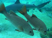 Grands poissons Photographie stock