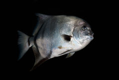 Grands poissons Images stock
