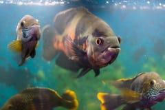 Grands poissons Astronotus d'aquarium entouré par des poissons des espèces d'Akar, Photo stock