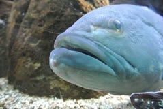 Grands poissons bleus en mer Image libre de droits