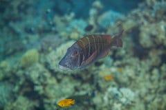 Grands poissons d'empereur de ciel Photographie stock libre de droits