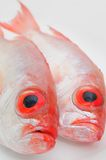 Grands poissons d'oeil Images libres de droits